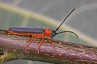 Weiden-Linienbock, Rothalsiger Weidenbock, Rothalsiger Linienbock, Bunter Linienbock, Weidenlinienbock, Oberea oculata, eyed longhorn beetle, twin spot longhorn beetle
