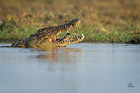 Fish was on the breakfast menu for this huge Nile Crocodile (Crocodylus niloticus). The Chobe River is teeming with life on the surface, as well as below and above it. In this calm and peaceful back channel of the Chobe, the circle of life played out.