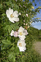 DOG-ROSE Rosa canina (Rosaceae) Height to 3m. Scrambling, variable shrub whose long, arching stems bear curved thorns. Associated with hedgerows, woodland margins and scrub. FLOWERS are 3-5cm across, fragrant with 5 pale pink petals and yellow stamens; borne in clusters of up to 4 flowers (Jun-Jul). FRUITS are red, egg-shaped hips that typically shed their sepals before they ripen. LEAVES comprise 5-7 hairless leaflets. STATUS-Widespread and common throughout.