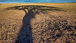 Masai Mara National Reserve, Kenya, umbrella thorn shadow