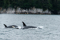 Summer landscape of orca whales in Prince William Sound Alaska<br /> <br /> Photo by Jeff Schultz/SchultzPhoto.com  (C) 2018  ALL RIGHTS RESERVED<br /> <br /> Bill Daly Tour July 2016