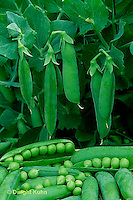 HS26-025x  Pea - shelling peas on vine, harvested, showing peas inside pod - Bounty variety