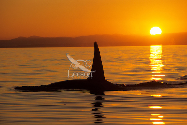 Orca Whale or Killer Whale (Orcinus orca) silhouetted by sunset.