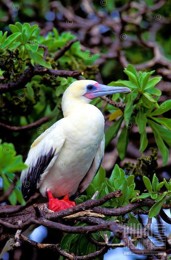 "Red footed booby or """"a"""", (sula sula rubripes). Common in the northwest chain and throughout the tropical pacific."