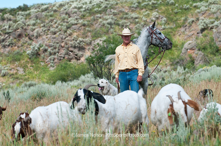 With his horse Gus, gaurd dog Badger (left), and herding dog Chance (right), Mark Harbaugh (Patagonia fly fishing representative and goat rancher) rides herd on his chemical-free noxious weed control crew in east Idaho.