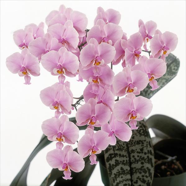 Phalaenopsis schilleriana- Pink Butterfly, Philadelphia Flower Show, Pennsylvania Horticultural Society