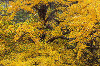Ginkgo biloba tree branch with leaves in yellow fall color in San Francisco Botanical Garden