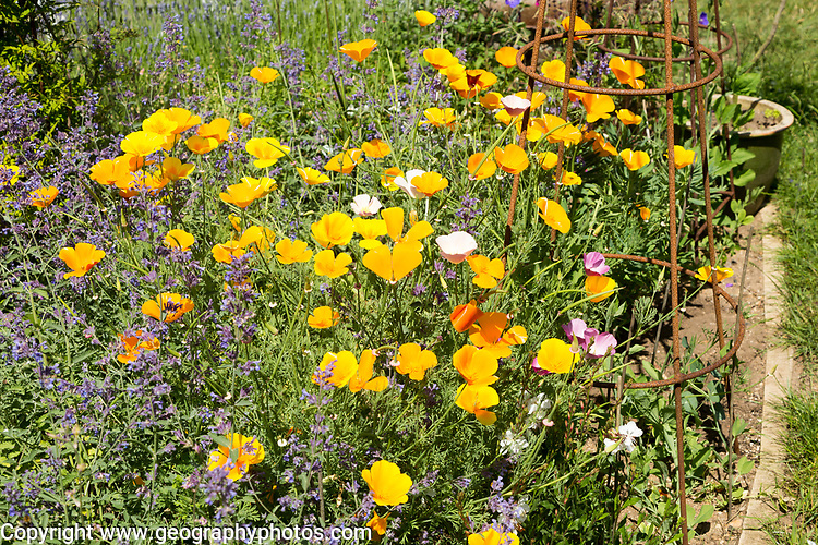 Yellow flowers of Californian poppy, Eschscholzia californica, mixed with catmint growing in garden, Suffolk, England, UK