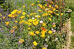 Yellow flowers of Californian poppy, Eschscholzia californica, mixed with catmint growing in garden, Suffolk, England, UK
