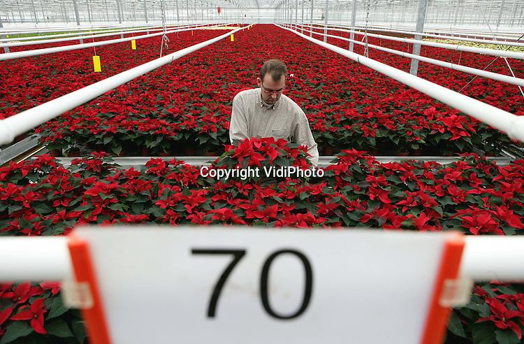 Foto: VidiPhoto..BEMMEL - Kerststerren luiden voor bloemkwekers officieel het winterseizoen in. De oogst van de kamerplant, die met Kerst door Nederlanders massaal wordt ingekocht, is bij JVB Potplanten in Bemmel begonnen. Er is dit jaar 10 procent minder aanbod, als gevolg van de lage prijzen vorig jaar en de hoge energiekosten. Kerststerren hebben veel warmte nodig. JVB heeft een productie van 100.000 kerststerren.