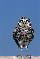 Burrowing owls, Athene cunicularia, standing on perch staring intently