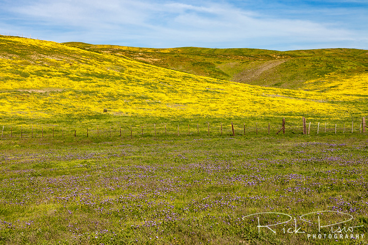Wildflowers bloom along the temblor range at the Carrizo Plain National Monument.