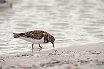 Sanibel Island, Florida; a Ruddy Turnstone (Arenaria interpres) bird, in non-breeding plumage, forages for food in a shallow pool of water left on the beach after high tide © Matthew Meier Photography, matthewmeierphoto.com All Rights Reserved