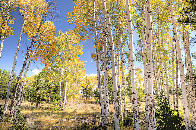 ASPENS PROVIDE COLOR DURING THE FALL IN GRAND TETON NATIONAL PARK,WYOMING