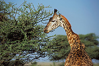 Masai Giraffe (Giraffa camelopardalis) browsing on thorny bush, East Africa.