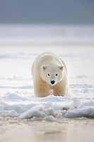Young polar bear cub in the snow along the shore of the Beaufort Sea, barrier Island, arctic, Alaska.