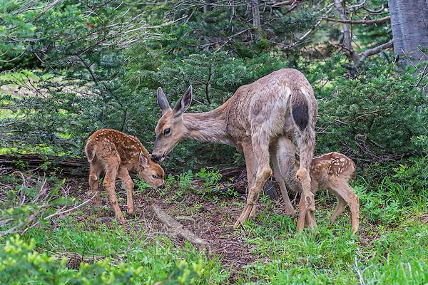 Columbian black-tailed deer (Odocoileus hemionus columbianus) doe nuzzles one fawn while another one nurses.  Pacific Northwest.  Summer.