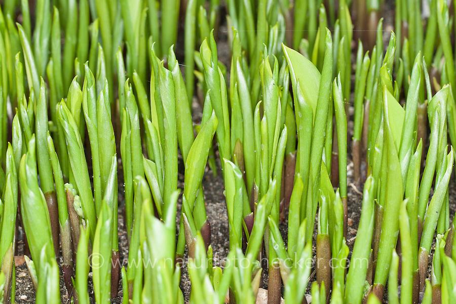 Gewöhnliches Maiglöckchen, frische, noch eingerollte Blätter vor der Blüte, Mai-Glöckchen, Convallaria majalis, Life-of-the-Valley, Muguet