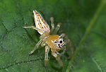 Jumping Spider, Thiodina sp. on leaf, Hacienda Baru, Costa Rica, white with stripes, tropical jungle.Central America....