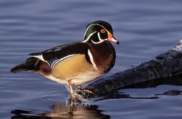 Wood Duck drake.. British Columbia, Canada..(Aix sponsa).