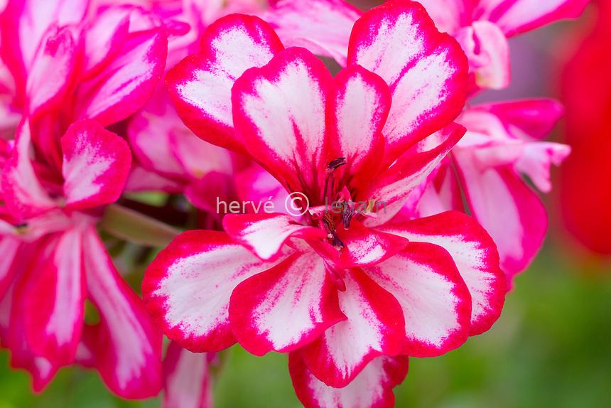 Géranium lierre 'Rouletta' ou géranium des balcon 'Rouletta', Pelargonium peltatum 'Rouletta' //  ivy-leaf geranium 'Rouletta' or cascading geranium 'Rouletta', Pelargonium peltatum 'Rouletta'