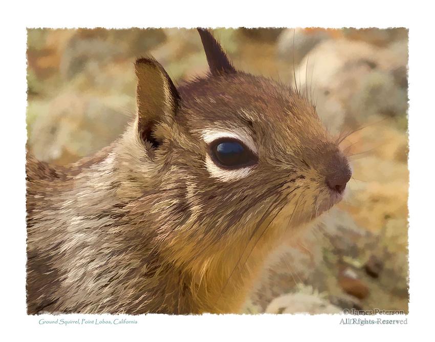 Ground Squirrel, Point Lobos, California
