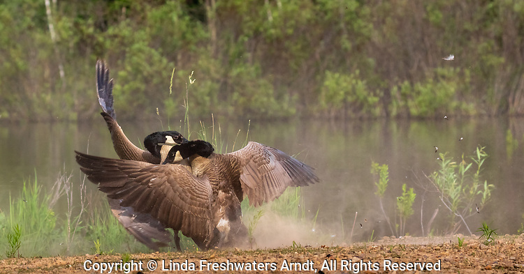 The feathers fly as two Canada geese fight.