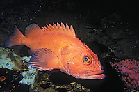 Yelloweye Rockfish aka Red Snapper..Pacific Coast, North America, from Aleutian Islands to Baja California..(Sebastes ruberrimus).