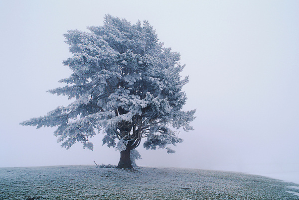 Mugo Pine, Pinus mugo, tree with frost in fog, Oberaegeri, Switzerland, December 1995