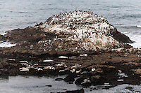 The rocks off shore at Bean Hollow State Beach are covered with pelicans, cormorants, gulls and bird droppings.  Below, harbor seals rest on a flatter rocky area, waiting for the sun to come from behind the clouds.