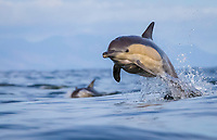 long-beaked common dolphin, Delphinus capensis, jumping, leaping, False Bay, South Africa, Atlantic Ocean