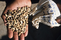 INDIA, farmer prepares a bio pesticide from seeds of Neem tree which is used against pest in organic cotton farming / INDIEN, Bauer nutzt den Samen des Niembaum für natürliche Pestizide für den biologische Baumwollanbau gegen Pflanzenschädlinge