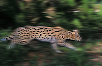 SERVAL. Huge ears act as dish antennae to locate prey. Africa. (Felis serval).