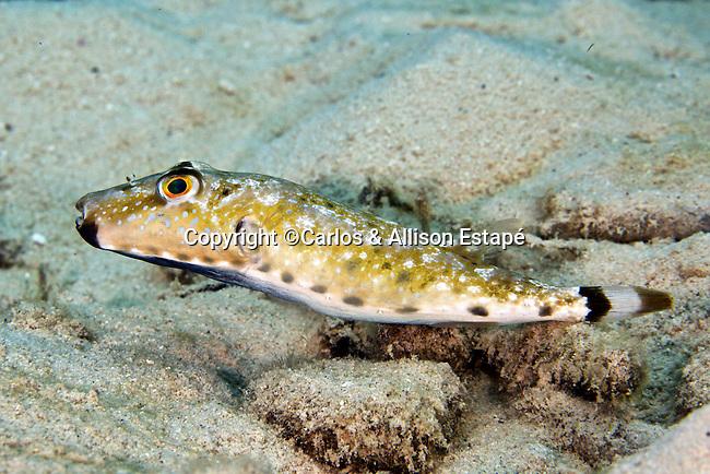 Sphoeroides spengleri, Bandtail puffer, Bonaire