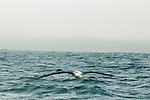 Antipodean Albatross (Diomedea antipodensis) gliding over ocean, Kaikoura, South Island, New Zealand