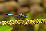 Blue Dragonfly, Blue Dasher male, Pachydiplax longipennis, Huntsville, Alabama