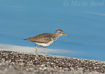 Spotted Sandpiper (Actitis macularia), foraging on shore of Mono Lake, California, USA