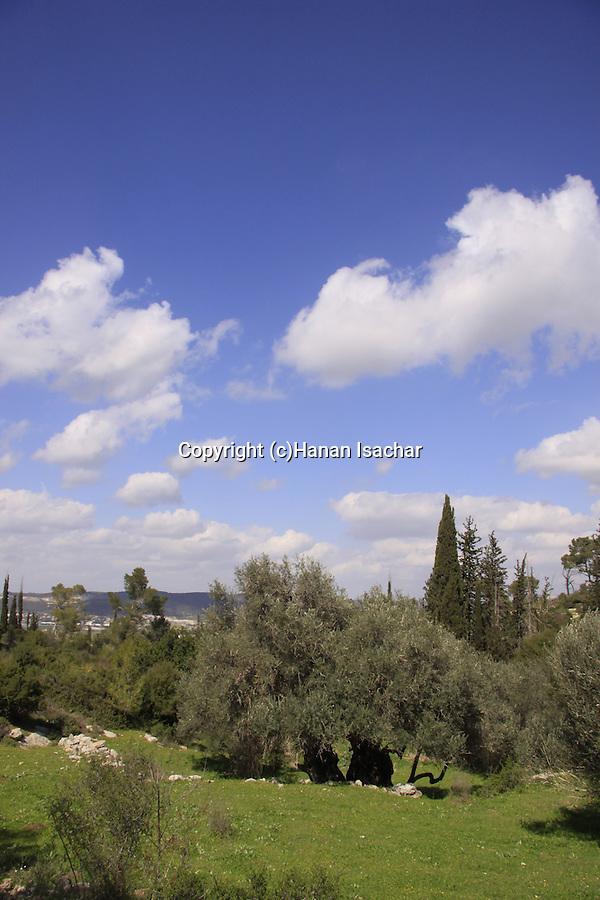 Israel, Shephelah, the ancient Olive tree in Beth Gemel