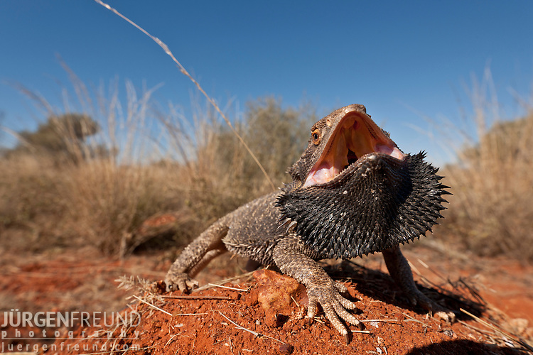 Central Bearded Dragon (Pogona vitticeps). The Central (or Inland) Bearded Dragon, is a species of agamid lizard occurring in a wide range of arid to semi-arid regions of Australia. This species is very popularly kept as a pet and exhibited in zoos.