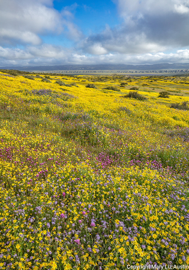 Carrizo Plain National Monument, CA: Monolopia, Owl's-clover and phacelia covering a gentle slope with clearing morning clouds over the Temblor Range
