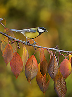 Great Tit (Parus major), adult perched on autumn branch of Cherry tree (Prunus sp.), Oberaegeri, Switzerland, Europe