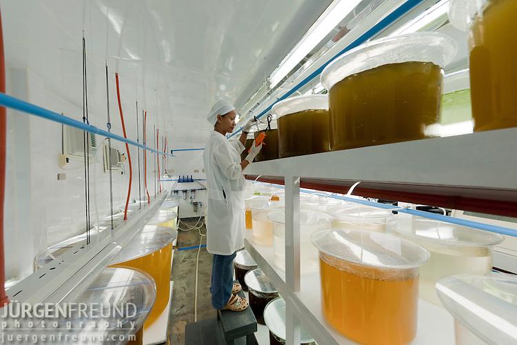 Jewelmer Pearlfarm, food for oyster babies. Algae are grown in laboratory