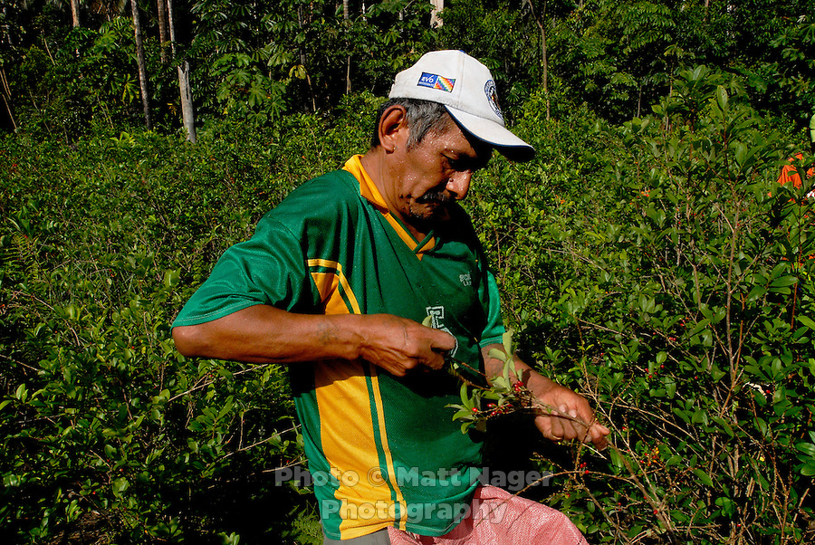 Rene Arandia Vargas, pulls ripe coca leaves off a tree during a harvest of a friends chaco, or coca field, near Eterezama, Bolivia. Every three months the coca trees are ready for a harvest, which is followed by the drying of the leaves and the eventual sale in bundles at the coca market in Eterezama.