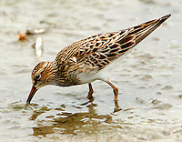 Pectoral sandpiper adult breeding feeding