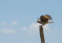Immature yellow-headed caracara, Milvago chimachima, prepares for takeoff. Tarcoles River, Costa Rica