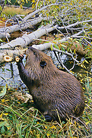 North American Beaver (Castor canadensis) cutting branches off cottonwood tree it has fallen for winter food.  Western U.S., fall.