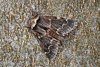 Kleine Pappelglucke, Herbstglucke, Poecilocampa populi, December moth, Le Bombyx du peuplier, Glucken, Lasiocampidae