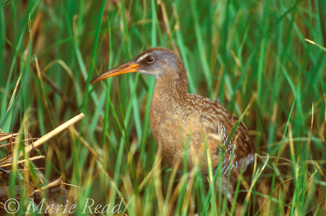 Clapper Rail (Rallus longirostris), adult, Bolivar Peninsula, Texas, USA<br /> Slide # B47-646