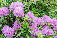 Rhododendron blossoms are a luscious lavender color in prime bloom at the Chicago Botanical Garden in Cook County, Illinois