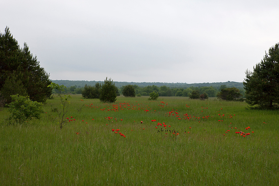 Fields of red poppies, papaver rhoeas, in summer in northern Michigan, Levering, MI, USA